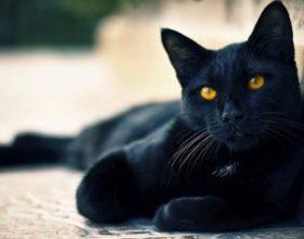 Crne mačke pod posebnom zaštitom