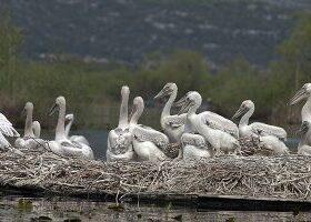 Krivolov na Skadarskom jezeru – ugroženi I pelikani