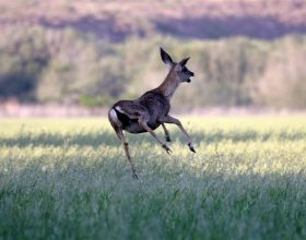 Jelen odbranio zeca od sokola (video)