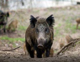 Narodnom muzikom protiv divljih svinja