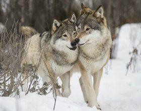 Jelen i vukovi (video)