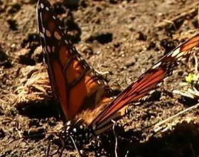 Maraton putem monarh leptira