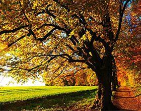 Zašto lišće žuti?