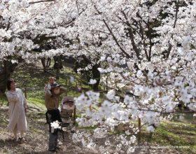 Јapan: Najranije cvjetanje trešnje u proteklih 1.200 godina (video)