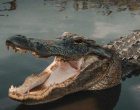 Aligator progutao dron (video)